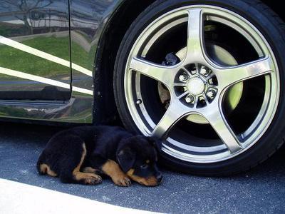 Beamer as a pup