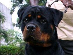 Rottweiler. Grewal Rottweiler Kennels India