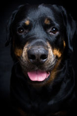 Older Rottweiler dog