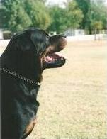 Rottweiler head in profile
