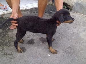 Average rottweiler weight at 3 months
